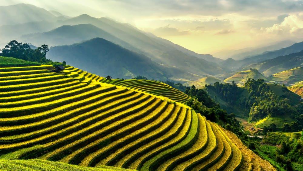 čajovník plantáž